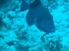 blue-trigger-fish